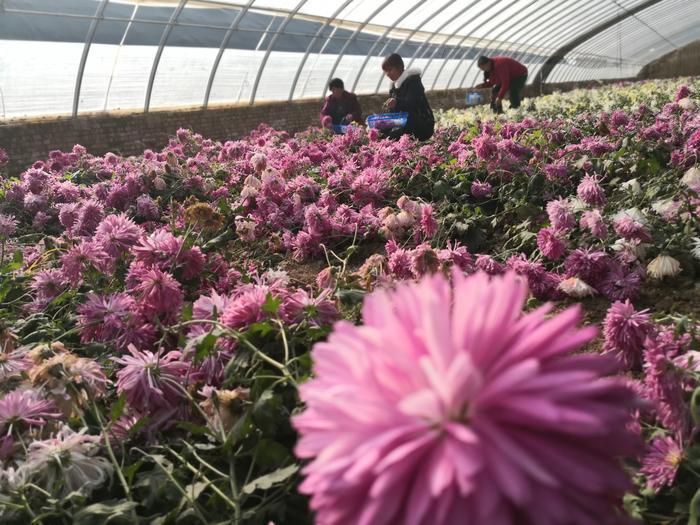 蒲城有了可以吃的菊花您见过吗?