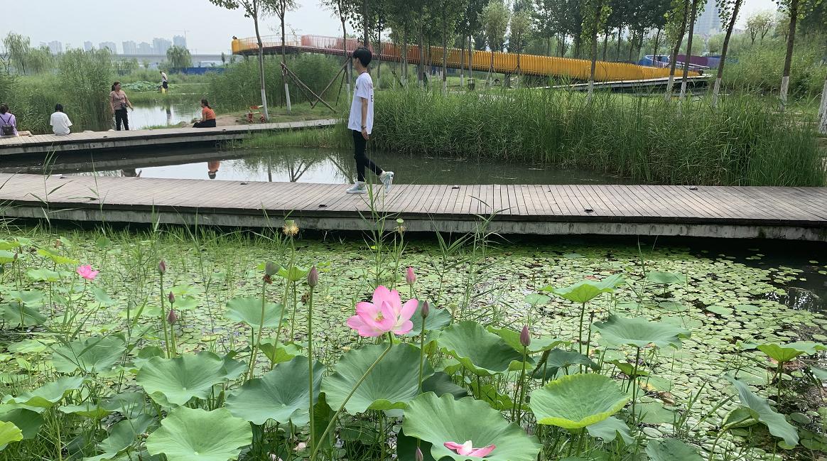 """渭柳湿地:荒滩变公园,咸阳""""绿肺""""蜕变史"""