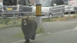 """日本北海道""""熊出没""""致4伤 附近学校停课、机场停飞"""