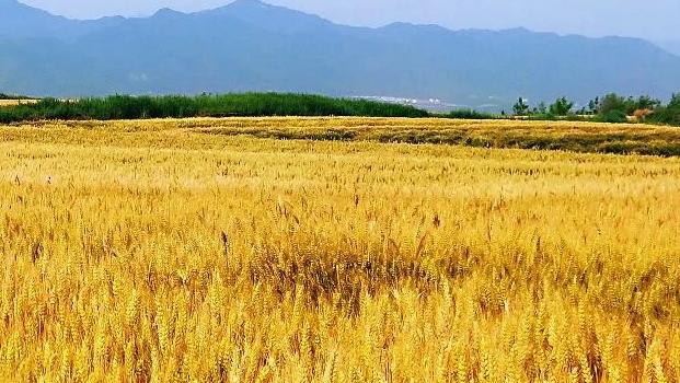 陕西夏粮总产量470.60万吨 再获丰收