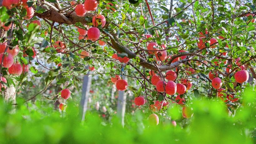 【走进乡村看小康】 陕西黄陵成为全国绿色苹果生产示范基地